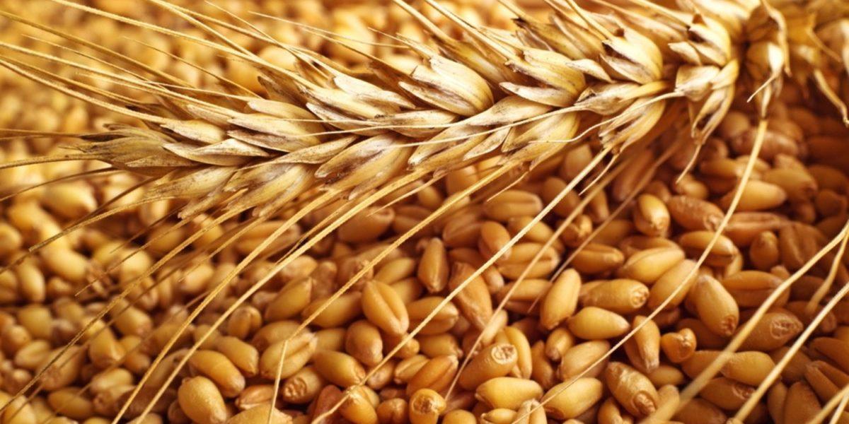 Genetsko poboljšanje i optimizacija potencijala rodnosti pšenice